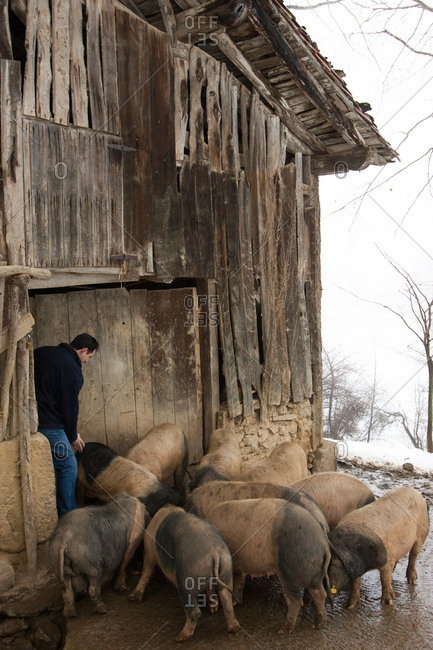 Basque Country, Spain - January 31, 2007: A pig farmer with a herd