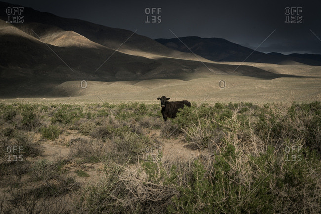 A cow near the Sierra Nevada mountains