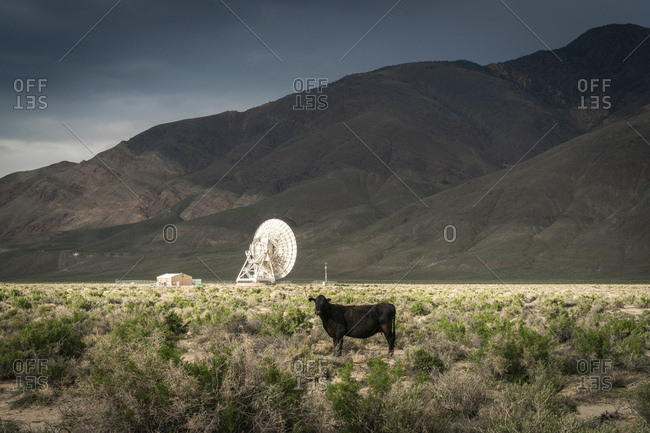 Cow near a radio telescope