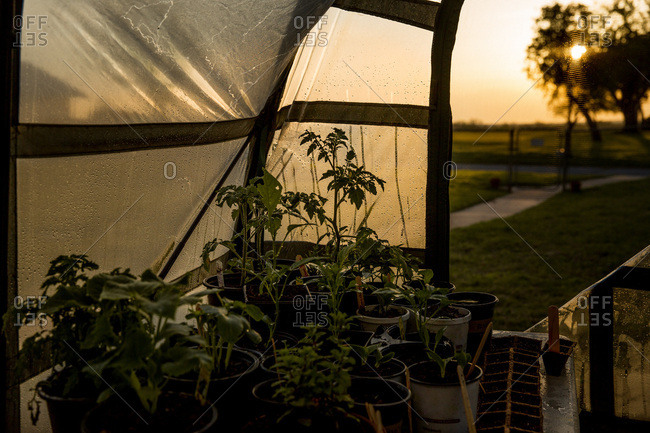 Potted plants inside greenhouse at sunrise