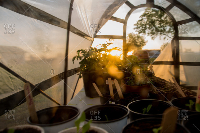 Seedlings and potted plants inside greenhouse at sunrise