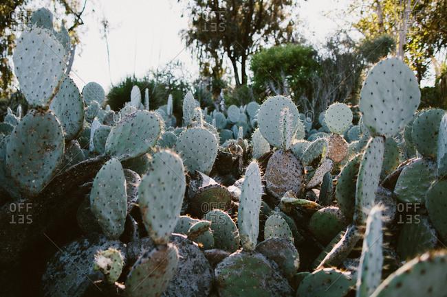 Cactus plant in California desert