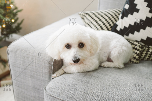 White dog sitting on couch looking at camera