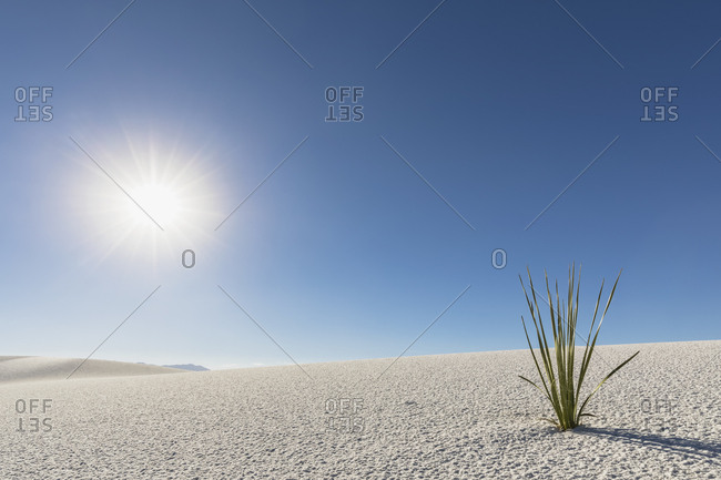 USA- New Mexico- Chihuahua Desert- White Sands National Monument- plant on desert dune