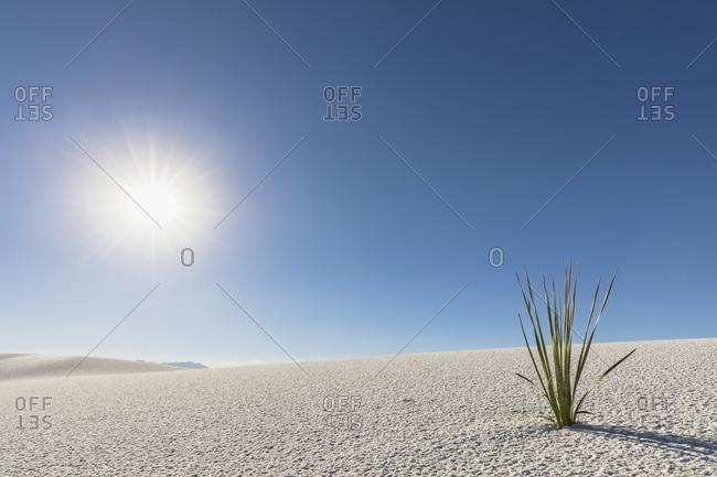 USA- New Mexico- Chihuahua Desert- White Sands National Monument- plant on desert dune