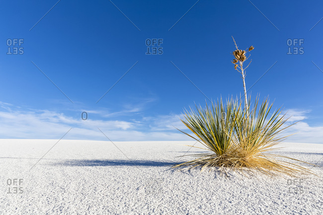 USA- New Mexico- Chihuahua Desert- White Sands National Monument- soap tree on desert dune