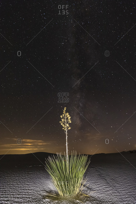 USA- New Mexico- Chihuahua Desert- White Sands National Monument- soap tree at night
