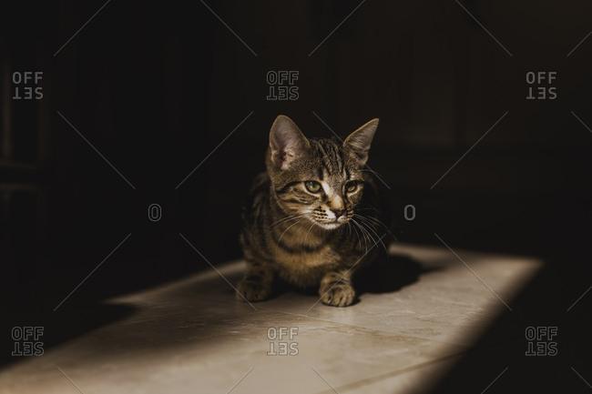 Tabby kitten at morning sunlight