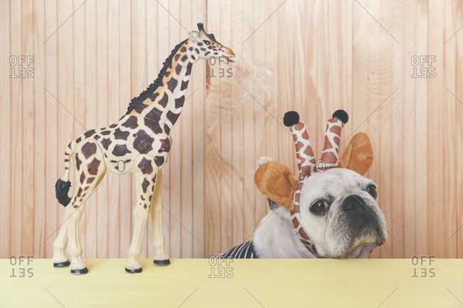 French bulldog wearing giraffe headband with giraffe figurine