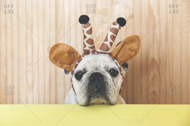 Portrait of French bulldog with giraffe headband