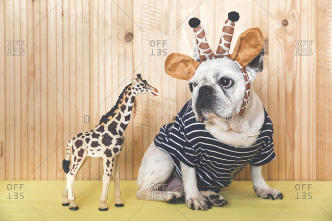 French bulldog wearing giraffe headband and pullover with giraffe figurine