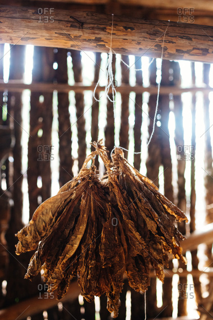 Tobacco leaves hanging from a rustic beam to dry