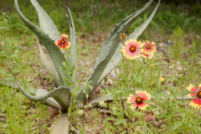 Flowers growing near an aloe plant