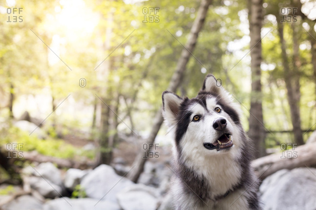 Siberian Husky looking away in forest