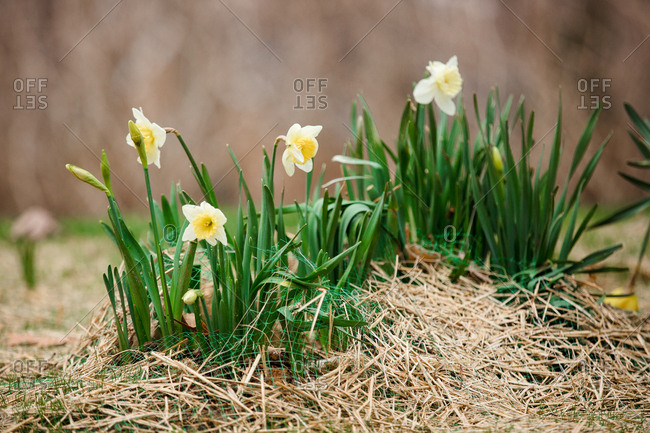 Daffodils growing in bed covered with straw