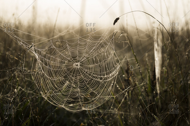 Delicate spider web in grass covered in dew drops