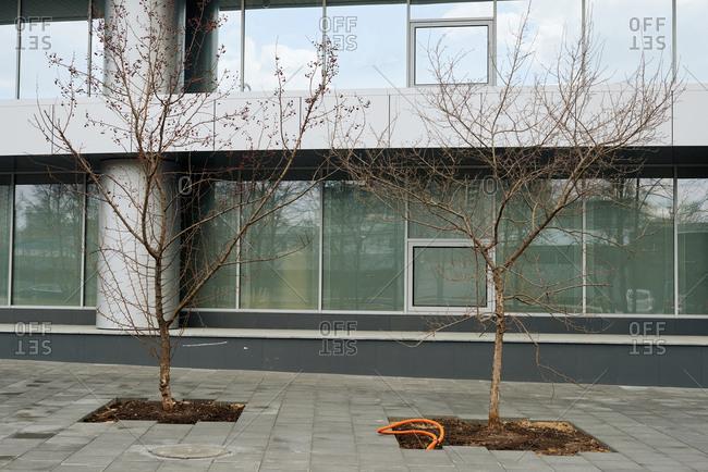Bare rowan-trees growing on a sidewalk against modern office building background