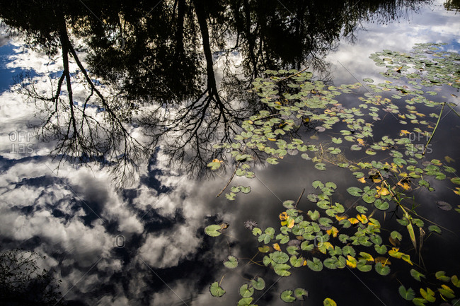 Trees and clouds reflected in the surface of a pond with lily pads