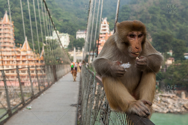 Monkey eating on Rishikesh Lakshman Jhula Bridge