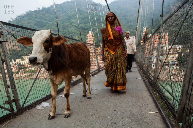 Rishikesh, India - October 19, 2015: Cow and India woman on suspension bridge in Rishikesk, India.