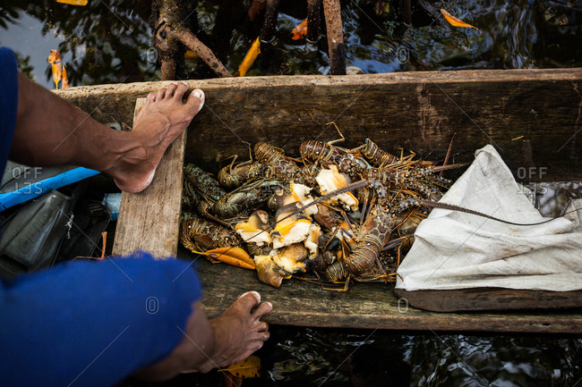 Panama, Bocas del Toro - March 13, 2014: A local catch of lobster in the bottom of a dugout canoe, Panama, Bocas del Toro.