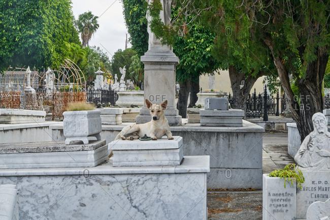 Havana, Cuba - March 5, 2017: Dog resting on grave in the Colon Cemetery, Havana