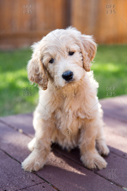 Close up of a Goldendoodle puppy