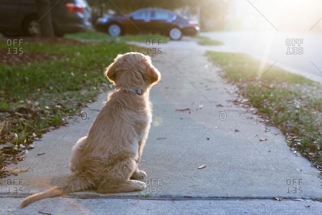Puppy sitting on sidewalk looking at sunset