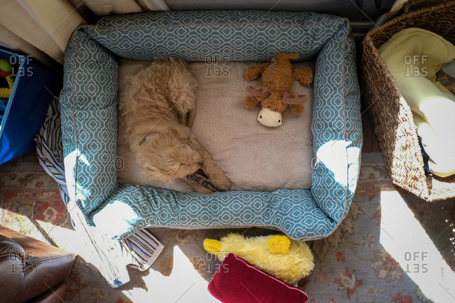 Overhead view of puppy chewing toy in dog bed