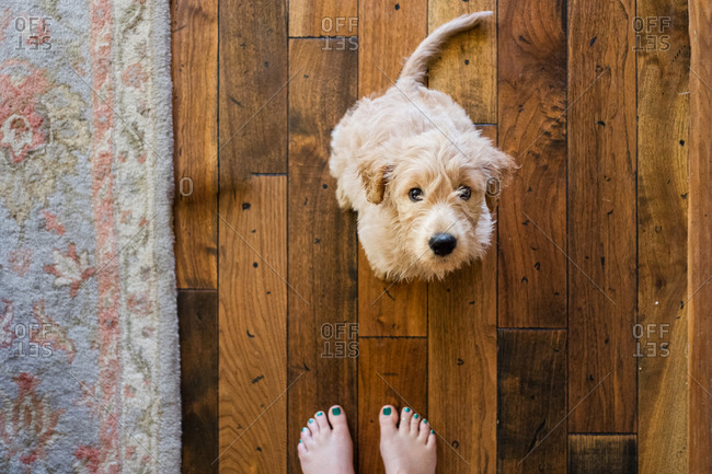 Overhead view of puppy sitting on hardwood floor