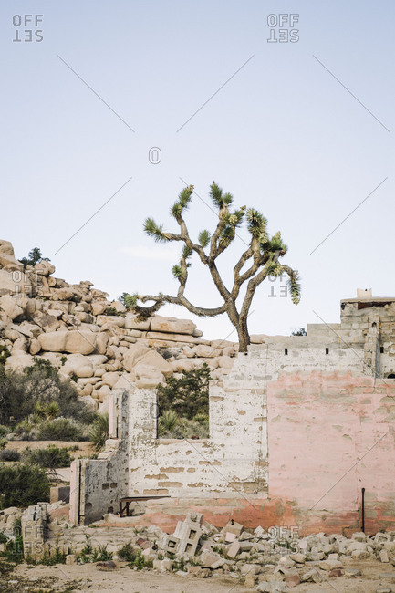 Joshua tree growing above the ruins of a house in the desert