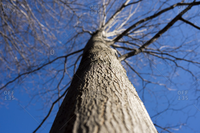 Trunk and branches of a bare maple tree against a blue sky