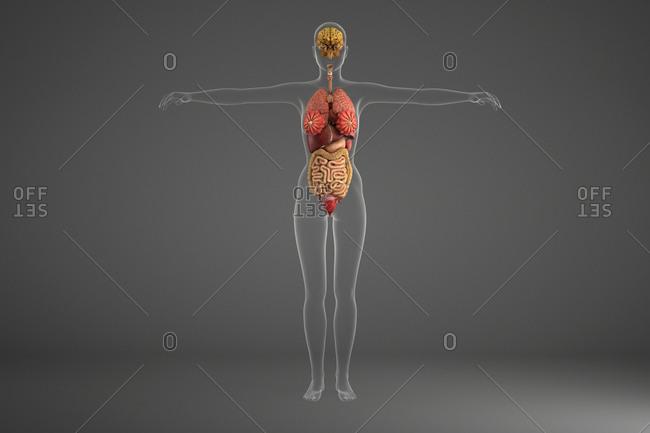 Human internal organs