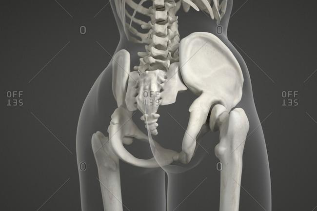 Human pelvis