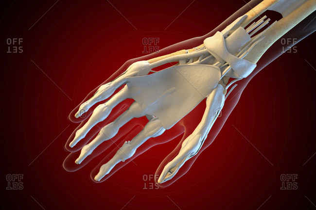 Ligaments of the human hand