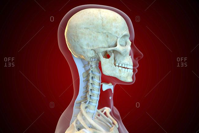 Neck Bones Stock Photos Offset