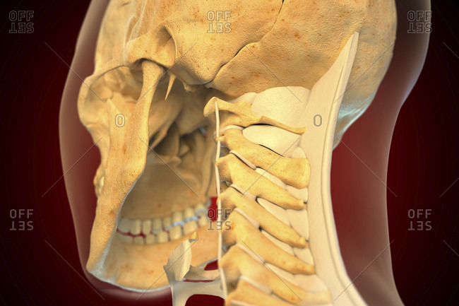 Ligaments of the human neck