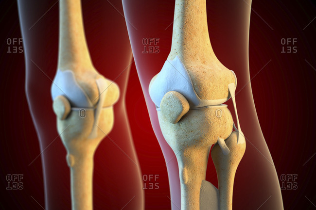 Ligaments of the human knee