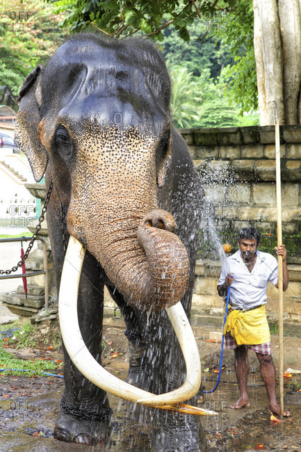 kandy, kandy, Sri Lanka - September 12, 2015: Man washing working elephant Kandy Sri Lanka Asia
