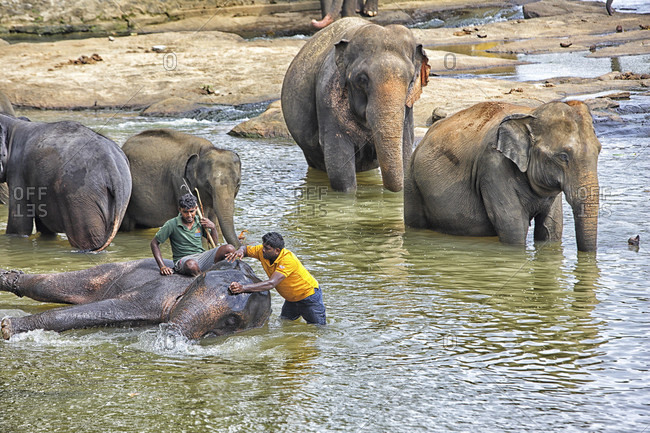 Pinnewala elephant orphanage, kandy, Sri Lanka - September 14, 2015:  Pinnawala Elephant Orphanage / Elephant Bathing, Kandy, Sri Lanka