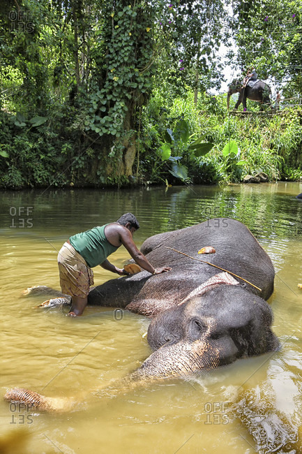Pinnewala elephant orphanage,   Kandy, Sri Lanka - September 14, 2015: A man sits on one of many elephants bathing at Pinnewala elephant orphanage, Kandy, Sri Lanka.