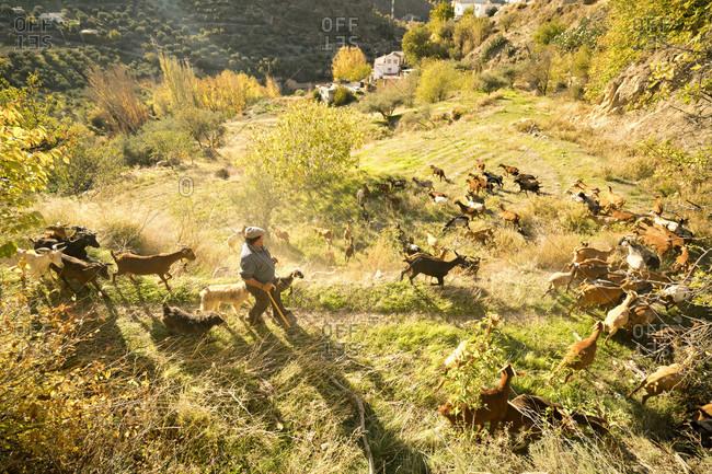 Spain, Spain, Spain  - November 27, 2015: A farmer walks through a field with his goats on a sunny day in Spain.