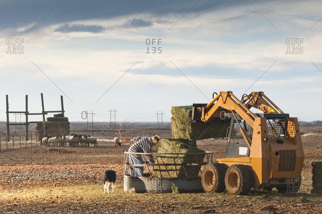 Pueblo, Colorado, USA - January 18, 2010: A farmer and her dog spread hay near Pueblo, Colorado.
