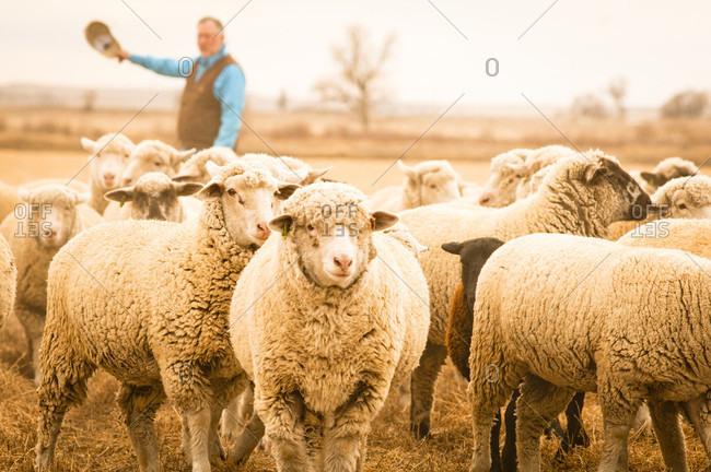 Pueblo, Colorado, USA - January 18, 2010: A sheep farmer herds his sheep near Pueblo, Colorado.