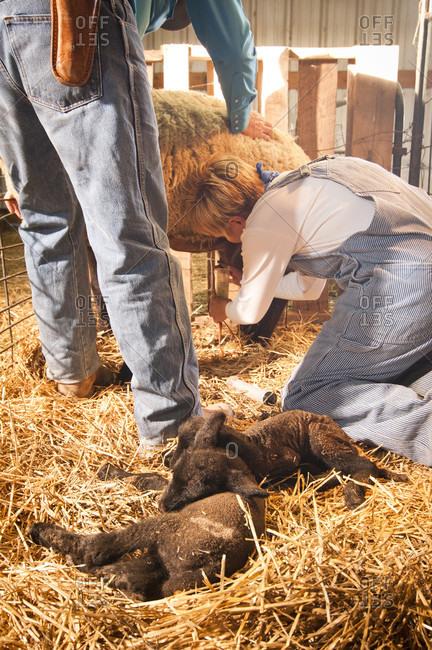 Pueblo, Colorado, USA - January 18, 2010: Farmers take milk from a sheep to feed her newborn babies on a farm near Pueblo, Colorado.