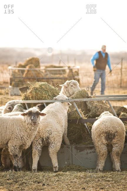 Pueblo, Colorado, USA - January 18, 2010: Sheep eating hay on a farm near Pueblo, Colorado.