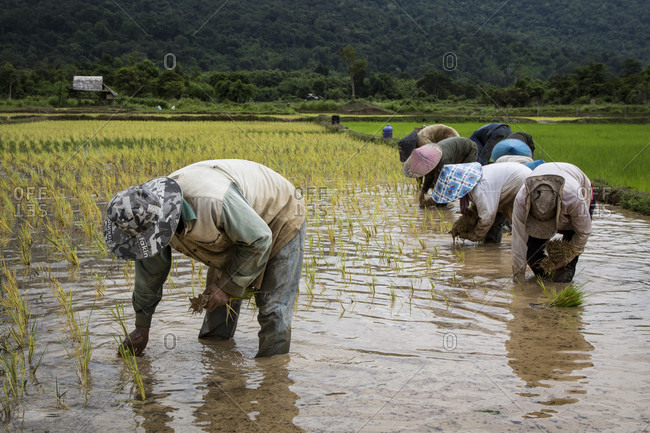 Vientaine Province, Vientiane Province, Laos - July 18, 2015: Rice farmers planing rice crop after beginning of monsoon season