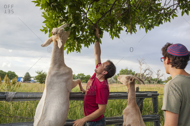 Boulder, Colorado, USA - June 26, 2014: Men help goats reach leaves on a tree branch at Beit-Izim, an urban farm goat cooperative in Boulder, Colorado.