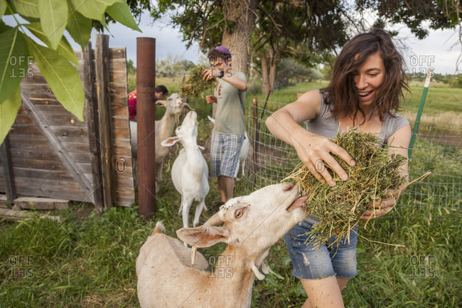 Boulder, Colorado, USA - June 26, 2014: Volunteers lure goats into an enclosure with alfalfa hay at Beit-Izim, an urban farm goat cooperative in Boulder, Colorado.