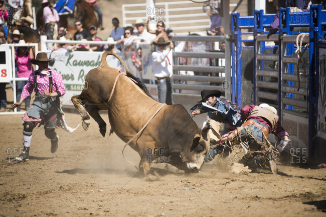 Woodlake, CA, USA - May 10, 2015: Bullfighter rodeo clowns try to distract a bull as its rider is bucked to the ground  at the Woodlake Lions Rodeo rodeo in Woodlake, Calif.